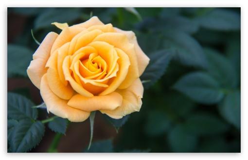 Download Yellow Rose UltraHD Wallpaper