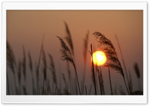 Reed Silhouette at Sunset