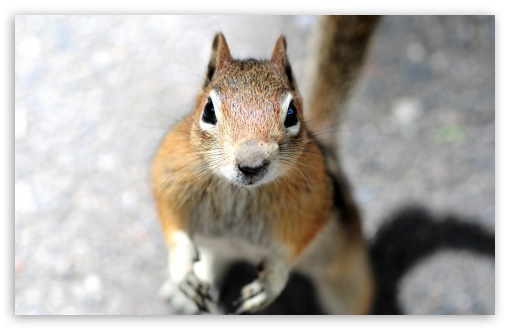 Download Close-up Of A Squirrel's Face Looking... UltraHD Wallpaper
