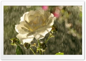 White Rose In Rain