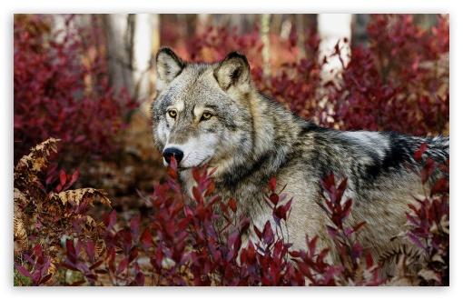 Download Wolf, Autumn UltraHD Wallpaper