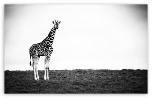 Download Giraffe UltraHD Wallpaper