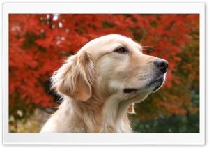Thoughtful Golden Retriever