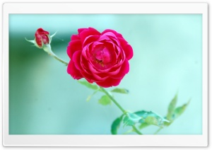 Rose - Komal Photo