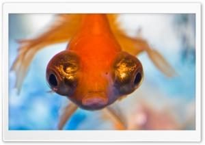 Goldfish with Big Eyes