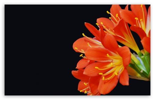 Download Bush Lily UltraHD Wallpaper