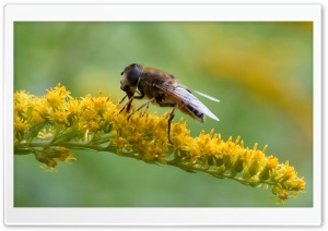 Hoverfly at breakfast -...
