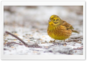 Yellowhammer In A First Snow