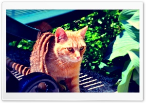 Ginger Tabby