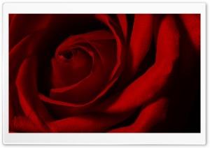 Valentines Day Rose
