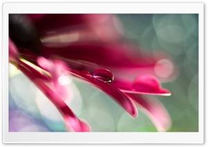 Water Drop On Pink Petal