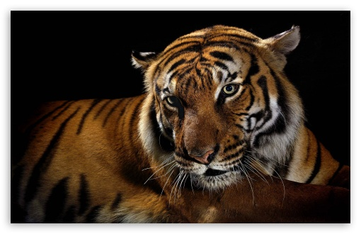 Download Beautiful Tiger UltraHD Wallpaper