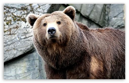 Download Grizzly Bear 1 UltraHD Wallpaper