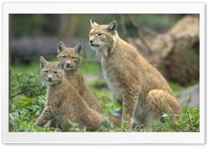 Eurasian Lynx Lynx Lynx With...