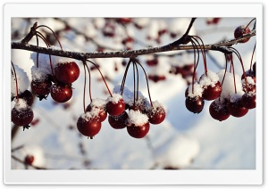 Frozen Red Berries, Winter