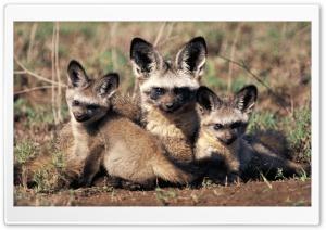 Bat Eared Fox Otocyon...