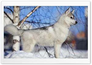 Husky Puppy Winter