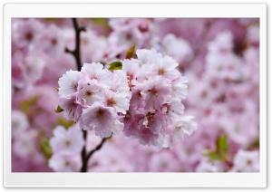 Beautiful Japanese Cherry...