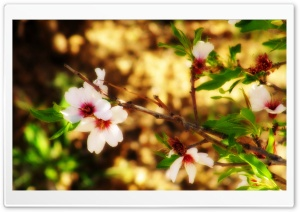 Almond Blossom Borujerd