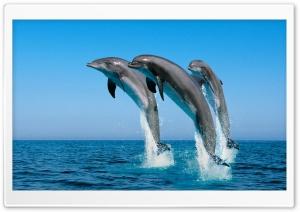 Bottlenose Dolphins Tursiops...