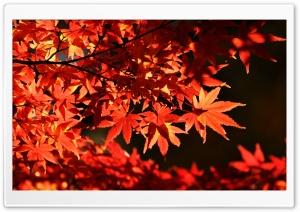 Japanese Maple Trees, Autumn