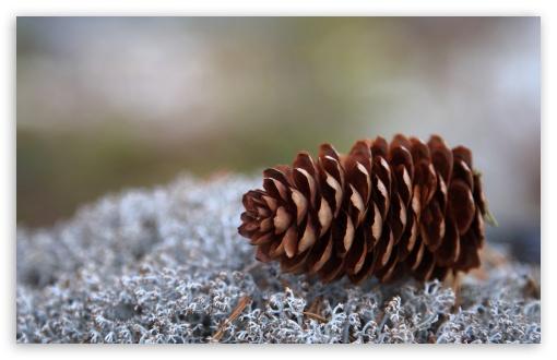 Download Lichens And Pine Cone UltraHD Wallpaper