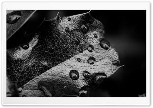 Leaf Macro, Black And White