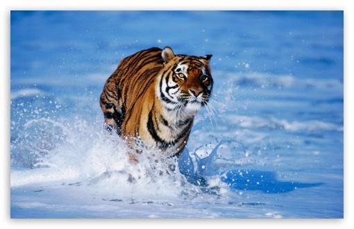 Download Bengal Tiger Panthera Tigris Tigris UltraHD Wallpaper