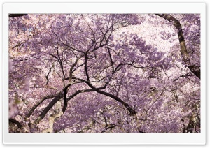 Pink Cherry Blossom Tree Japan