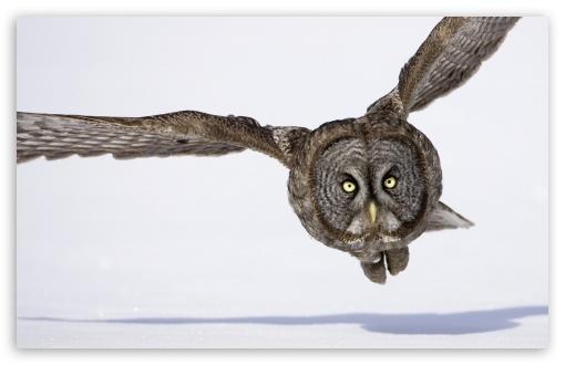 Download Hunting Great Gray Owl UltraHD Wallpaper