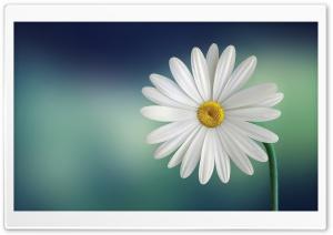 Marguerite Daisy Flower