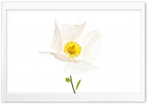 Matilija The White Poppy