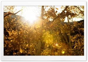 Aspens Fall Sunshine