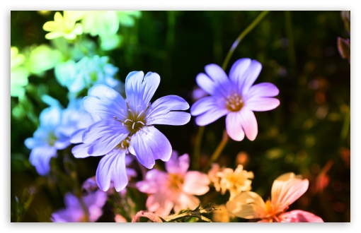 Download Colored Flowers UltraHD Wallpaper