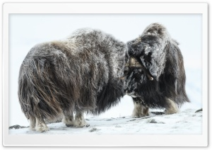 Two male Musk Ox fighting