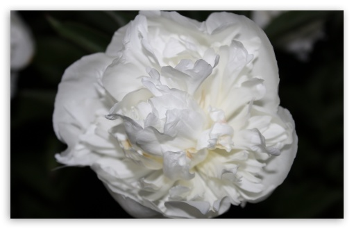 Download White Rose Just Like Silk UltraHD Wallpaper