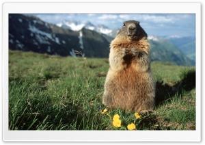 Alpine Marmot Hohe Tauern...