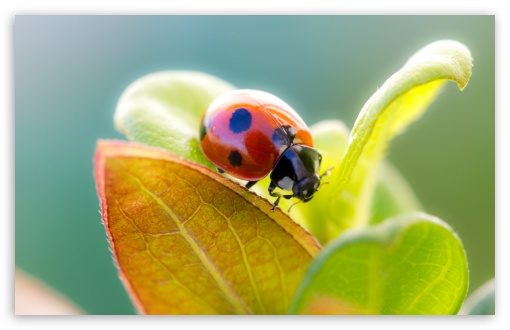 Download Ladybug On Leaf Top UltraHD Wallpaper