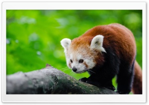 Red Panda In Tree