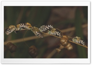 Blue Banded Bees Sleeping