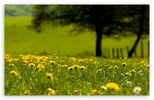 Download Yellow Dandelions Field UltraHD Wallpaper