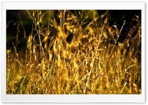 Grass Ears, Summer