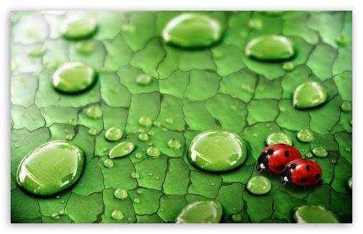 Download A Pair of Ladybird UltraHD Wallpaper