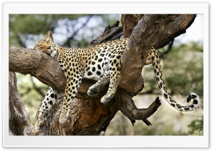 Leopard Sleeping In Tree