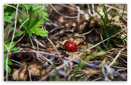 Download Ladybug Autumn UltraHD Wallpaper