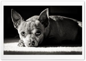 Chihuahua Black and White