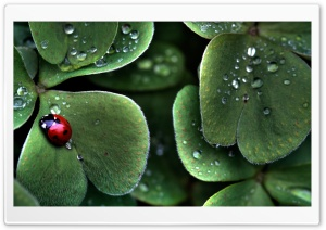 Ladybug Sitting On A Clover Leaf