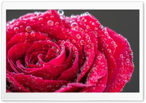 Single Red Rose with Water Drops