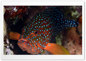 Red Fish With Blue Spots