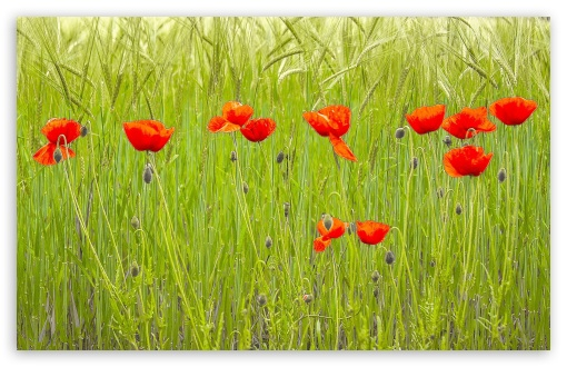 Download Red Poppies, Green Wheat Field UltraHD Wallpaper